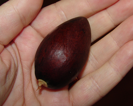 sambure avocado