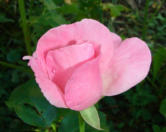 trandafir_0