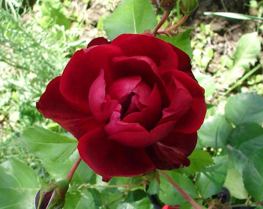 trandafir_2