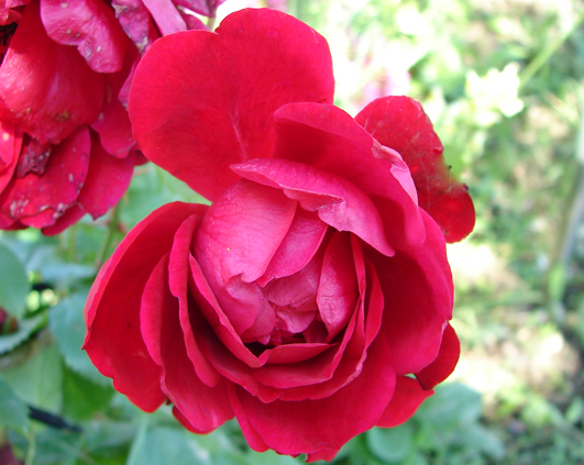 trandafir_3