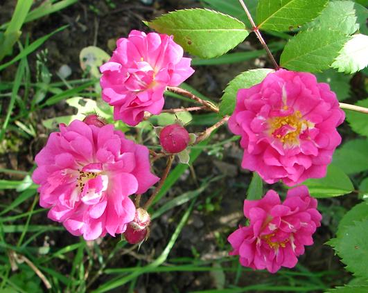 trandafir_5