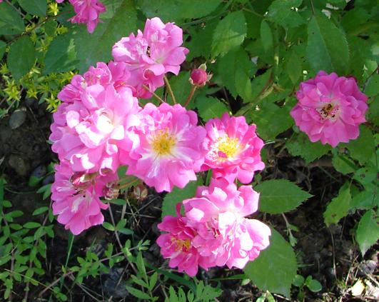 trandafir_7