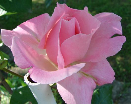 trandafir_8