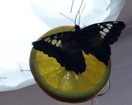 fluture3