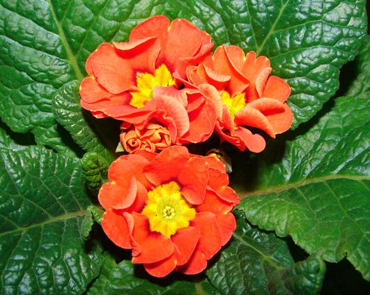 primula-portocalie