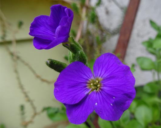 albastra