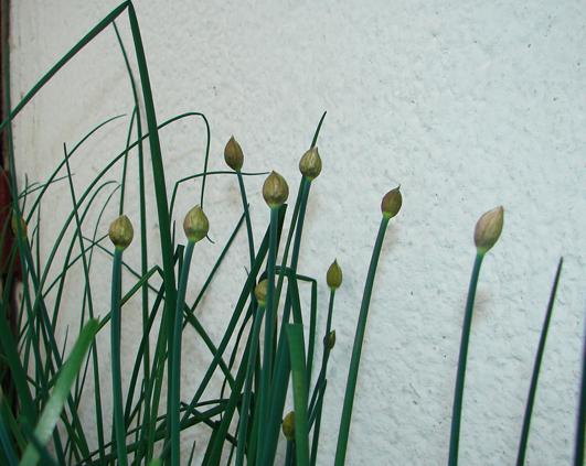 flori ceapa