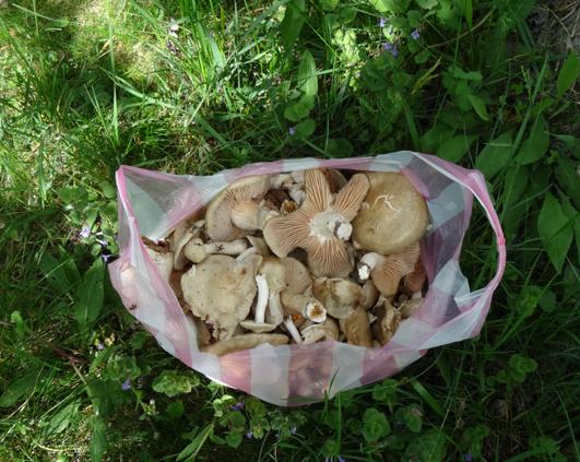 recolta ciuperci