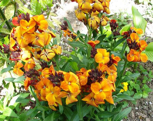 siboi-portocaliu