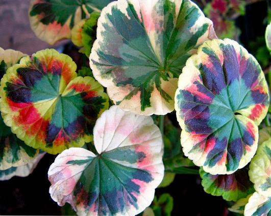 muscata colorata