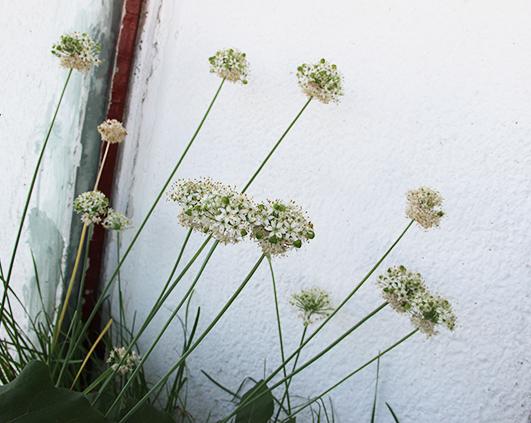 flori de usturoi