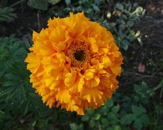 craita portocalie