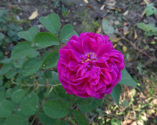 trandafir dulceata