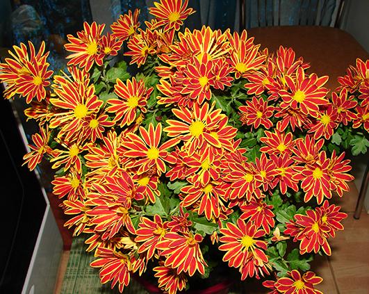 crizanteme vargate