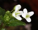floare wasabi