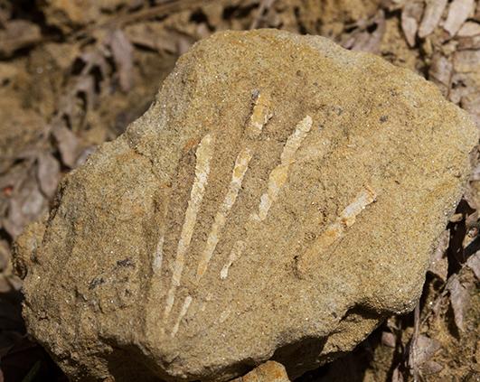 fosila