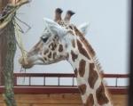 girafa cap