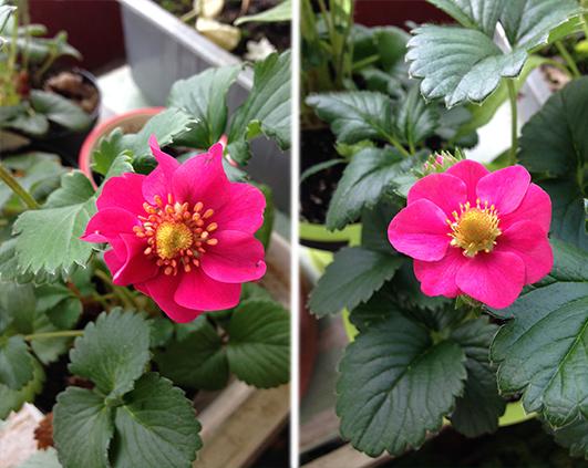 flori capsini roz