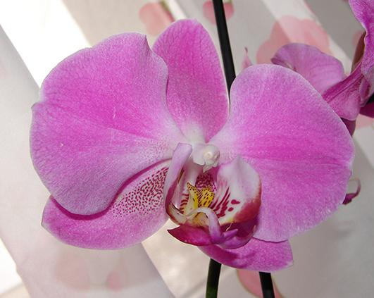 orhidee-mov