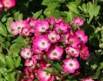 trandafiri_0000_20170603-IMG_7429
