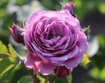 trandafiri_0004_20170603-IMG_7381