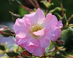 trandafiri_0005_20170603-IMG_7379