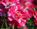 trandafiri_0006_20170603-IMG_7375