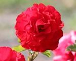 trandafiri_0007_20170603-IMG_7374
