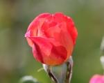trandafiri_0008_20170603-IMG_7373