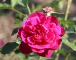 trandafiri_0011_20170603-IMG_7298