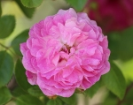 trandafiri_0014_20170603-IMG_7231