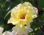 trandafiri_0015_20170603-IMG_7201
