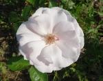 trandafiri_0016_20170603-DSC06189