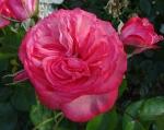 trandafiri_0018_20170603-DSC06181