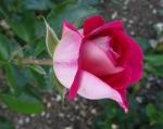 trandafiri_0020_20170603-DSC06174
