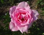 trandafiri_0022_20170603-DSC06165