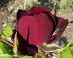 trandafiri_0024_20170603-DSC06160