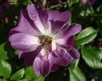 trandafiri_0025_20170603-DSC06155