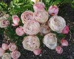 trandafiri_0026_20170603-DSC06154