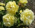 trandafiri_0029_20170603-DSC06148