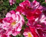 trandafiri_0030_20170603-DSC06147