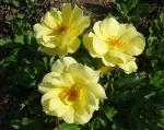 trandafiri_0031_20170603-DSC06144