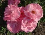 trandafiri_0032_20170603-DSC06140