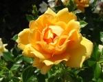 trandafiri_0033_20170603-DSC06135