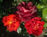 trandafiri_0034_20170603-DSC06128