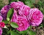 trandafiri_0035_20170603-DSC06124