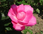 trandafiri_0036_20170603-DSC06123