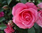 trandafiri_0037_20170603-DSC06119