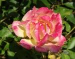 trandafiri_0038_20170603-DSC06112