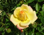 trandafiri_0039_20170603-DSC06111